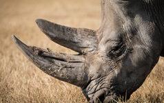 issue45_rhinos_teaser