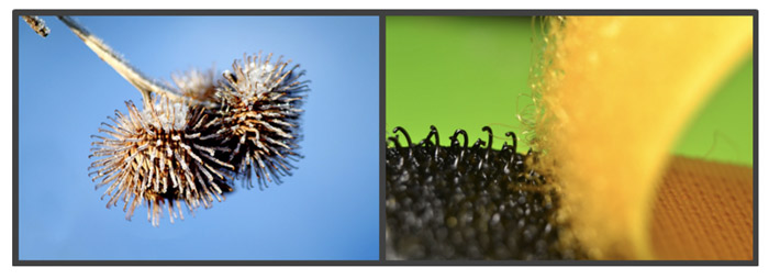 A set of images showing how Velcro was inspired by the ends of burr needles